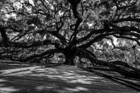 The womping oak.